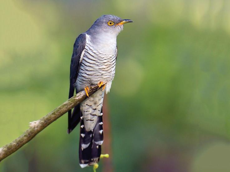 Male Cuckoo