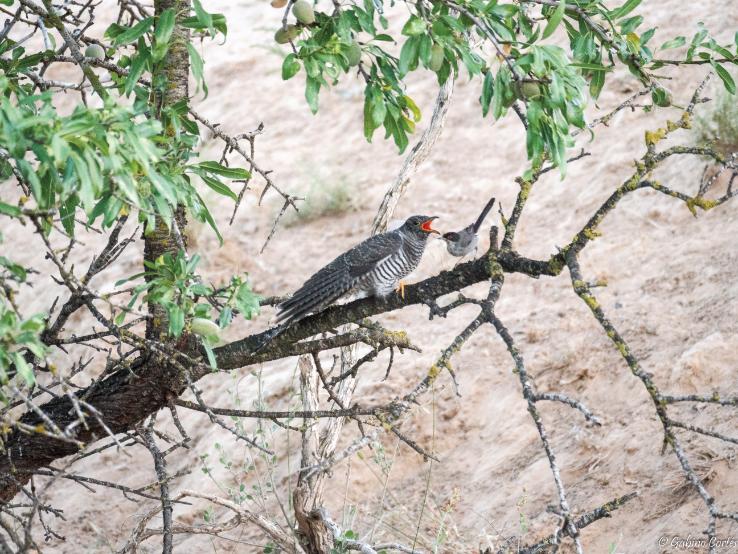 Cuckoo and Sardinian Warbler