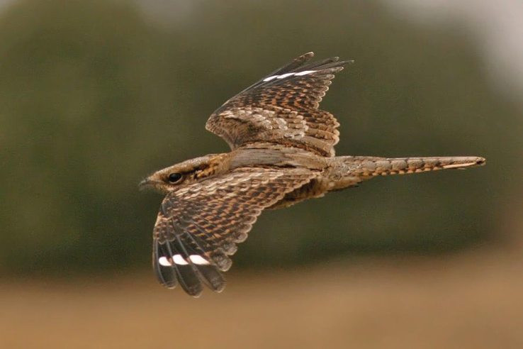Red-Necked Nightjar In Flight
