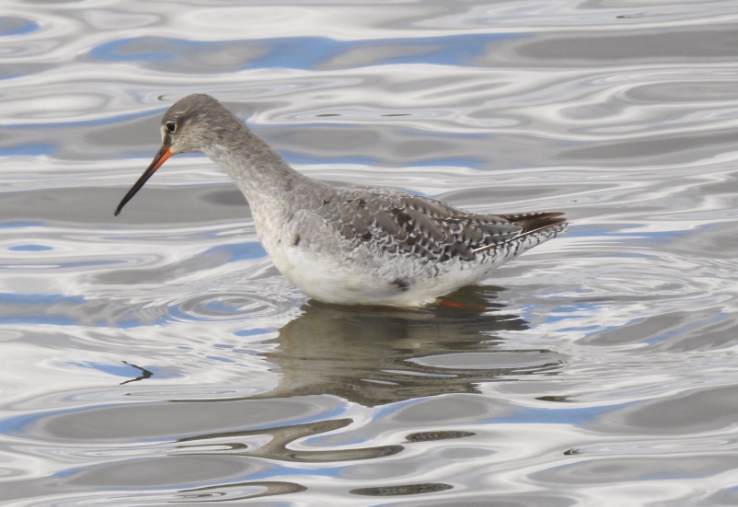 Spotted Redshank Winter Plumage