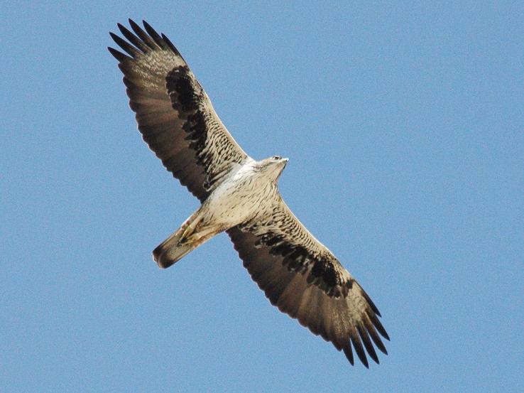 Adult Bonelli's Eagle