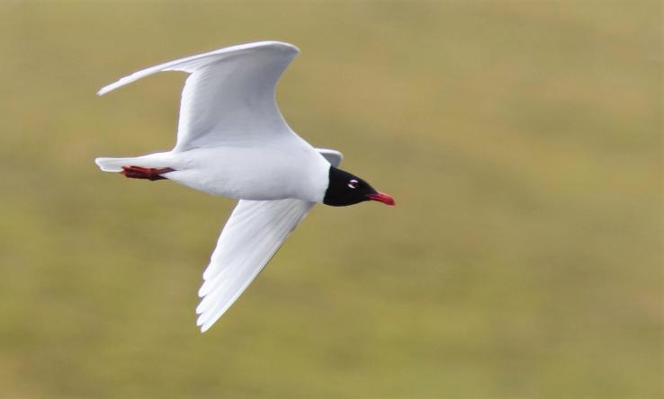 Mediterranean Gull-In Flight