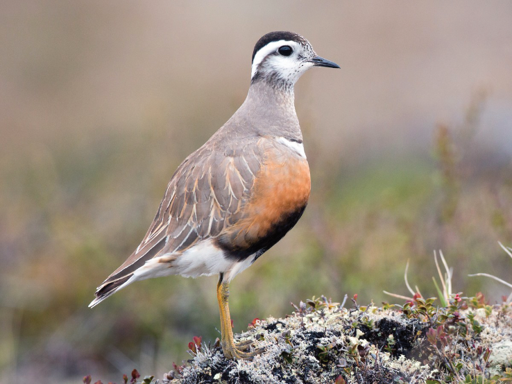 Dotterel - Summer