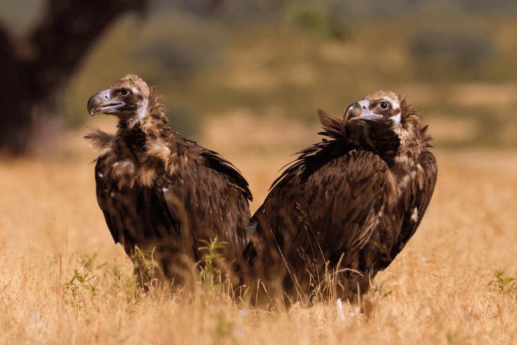 European Black Vulture