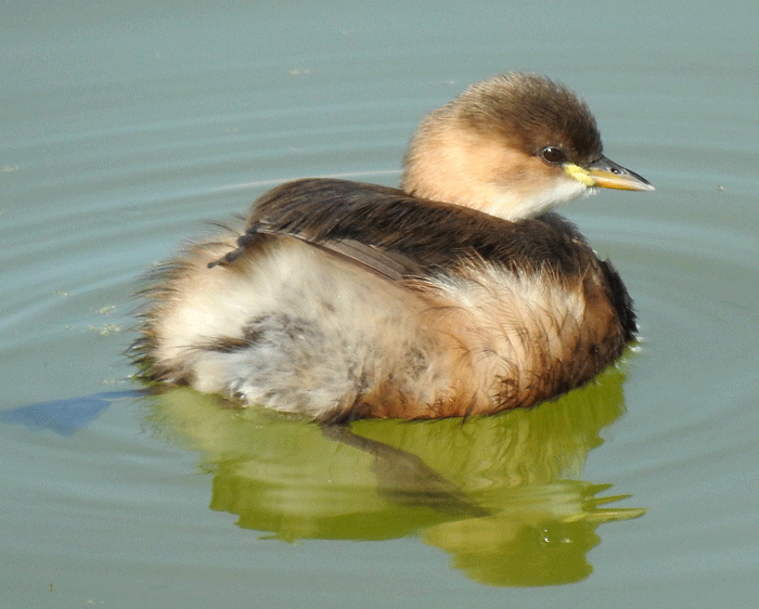 Little grebe in winter plumage