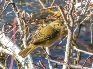 Chiffchaff showing short primary feathers
