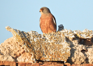 Male L.Kestrel