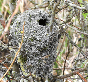 Long-tailed Tit nest