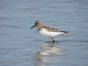 Sanderling - summer plumage