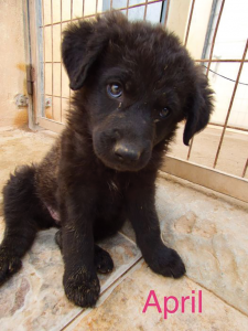 April, one of 7 special puppies found in a bin