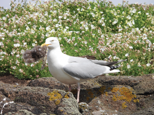 Herring gull with nest material