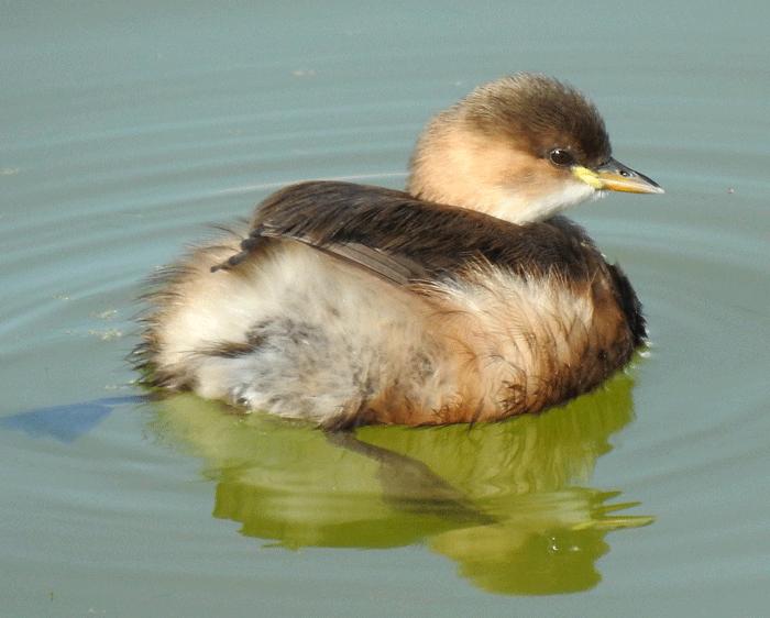 Little grebe in winter plumage