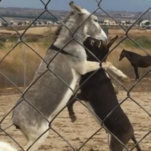 Donkeys playing