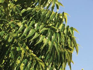 Neem - the pharmacy tree