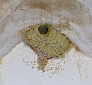 Nest of Red-rumped swallow