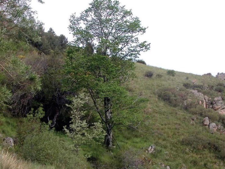 Iberian elms are enjoying a revival – over 50,000 have been planted in Spain in recent years Photo: José Luis Izquierdo for Madrid's Sierra de Guadarrama National Park website